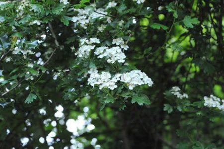Heilpflanze des Monats Mai: Weissdorn