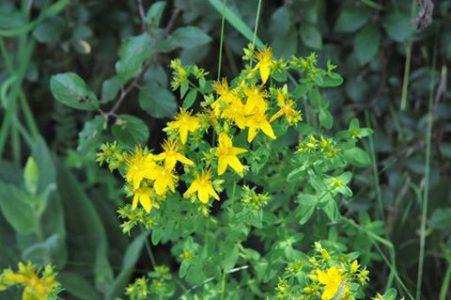 Johanniskraut, die Heilpflanze des Monats Juni