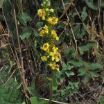 Heilpflanze des Monats Juli: Königskerze