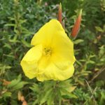 Heilpflanze des Monats August 2018 Schafgarbe