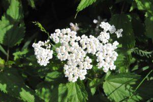 Heilpflanze des Monats August: Schafgarbe