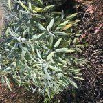 Salbei (Salvia officinalis) - die Heilpflanze des Monats November