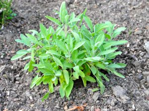Die Heilpflanze des Monats November Salbei (Salvia officinalis)