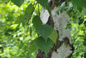 Die Birke (Betula alba), die Heilpflanze des Monats Mai 2019