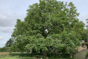 Walnuss, die Heilpflanze im Monat September