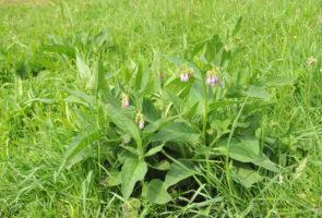 Beinwell – die Heilpflanze im Monat November