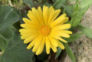 Ringelblume – Die Heilpflanze des Monats Oktober