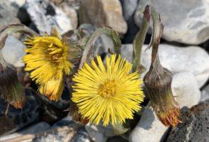 Huflattich – Heilpflanze im März