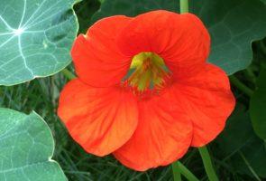Heilpflanzen mit antiviraler Wirkung