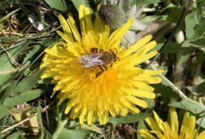 Löwenzahn – die Heilpflanze im Mai