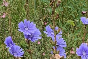Die Wegwarte – Heilpflanze im Juli