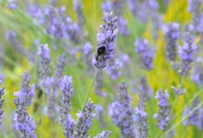 Lavendel – die Heilpflanze im August