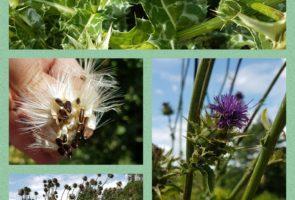 Die Mariendistel – Heilpflanze im September