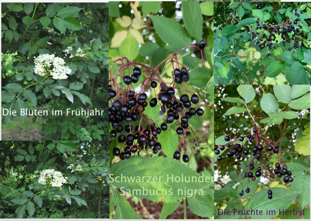 Schwarzer Holunder - die Heilpflanze im Oktober
