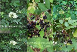 Schwarzer Holunder – die Heilpflanze im Oktober