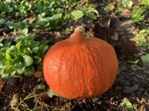 Der Kürbis - die Heilpflanze im November