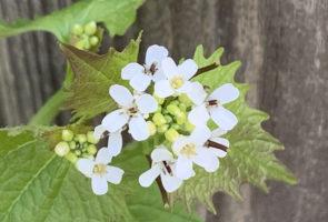 Die Knoblauchsrauke – Heilpflanze im April