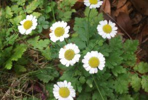 Das Mutterkraut – die Heilpflanze im August
