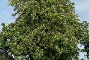 Die Rosskastanie – die Heilpflanze im Oktober